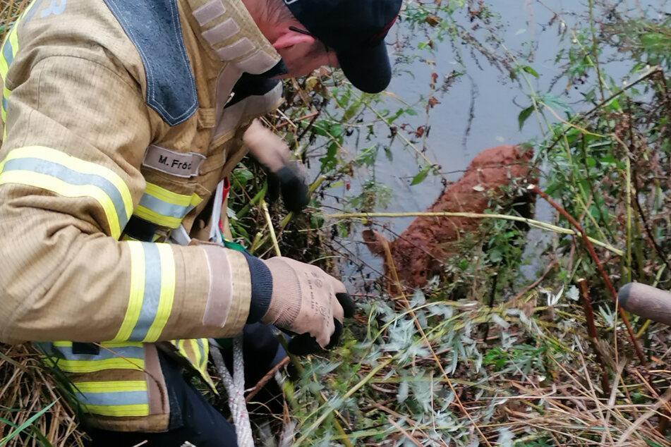 Ein Feuerwehrmann zieht das kleine Kalb aus dem Wasser.