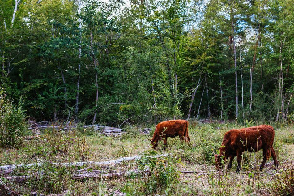 Naturschutz: Hier retten Rinder und Pferde bedrohte Tier- und Pflanzen-Arten