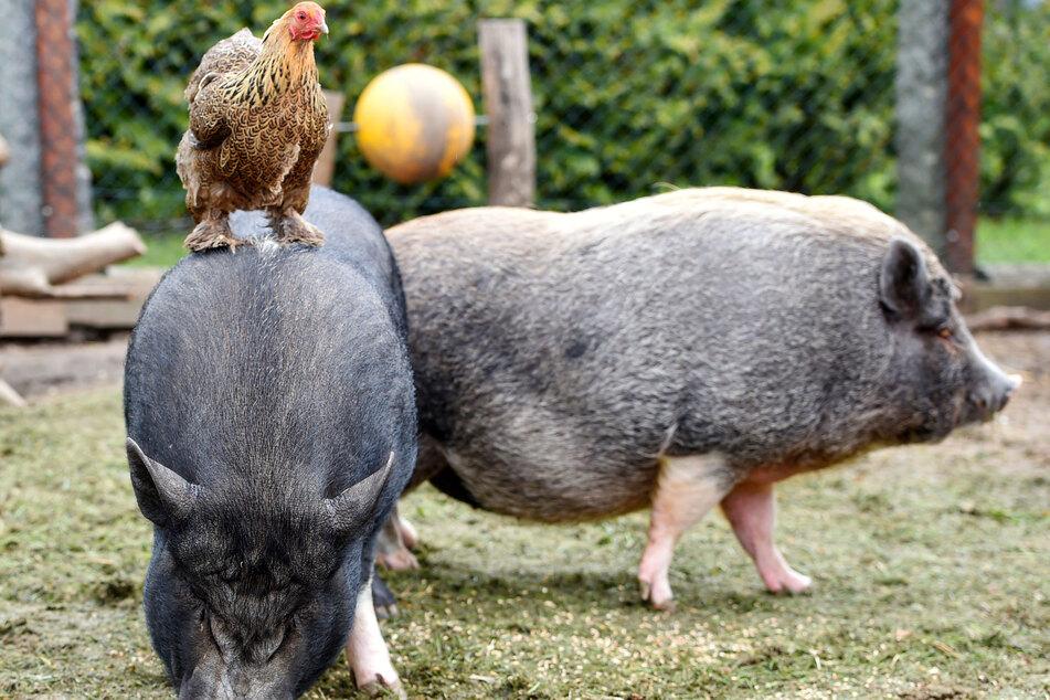 Die Hühner machen Borstenpflege, dafür halten die Schweine ihnen den Fuchs vom Leib.