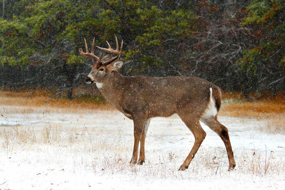 El animal sobrevivió en la naturaleza durante aproximadamente un año y medio.  (Imagen de icono)