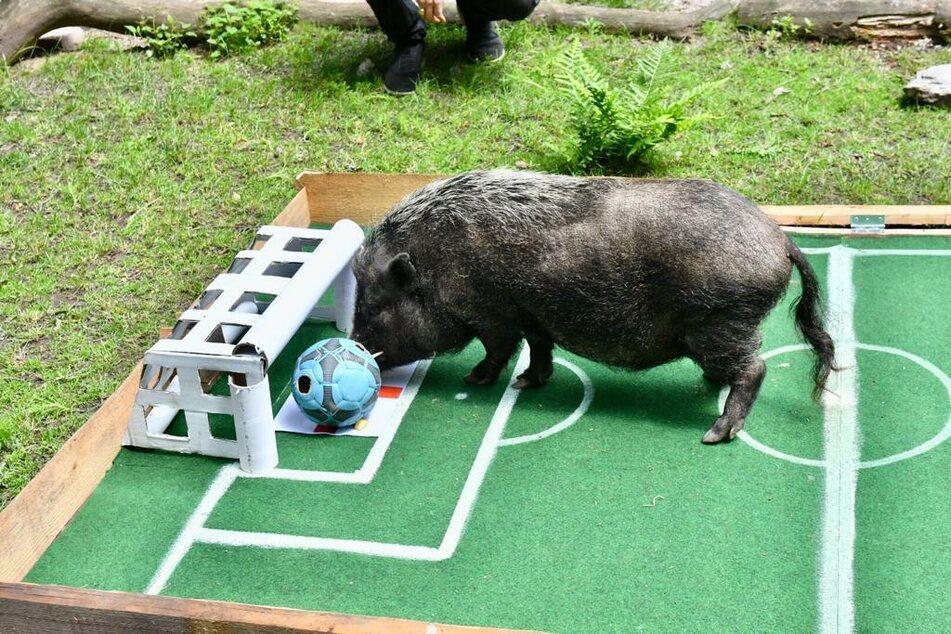 Minischwein Ehrmann manövrierte den Ball sicher ins Tor.