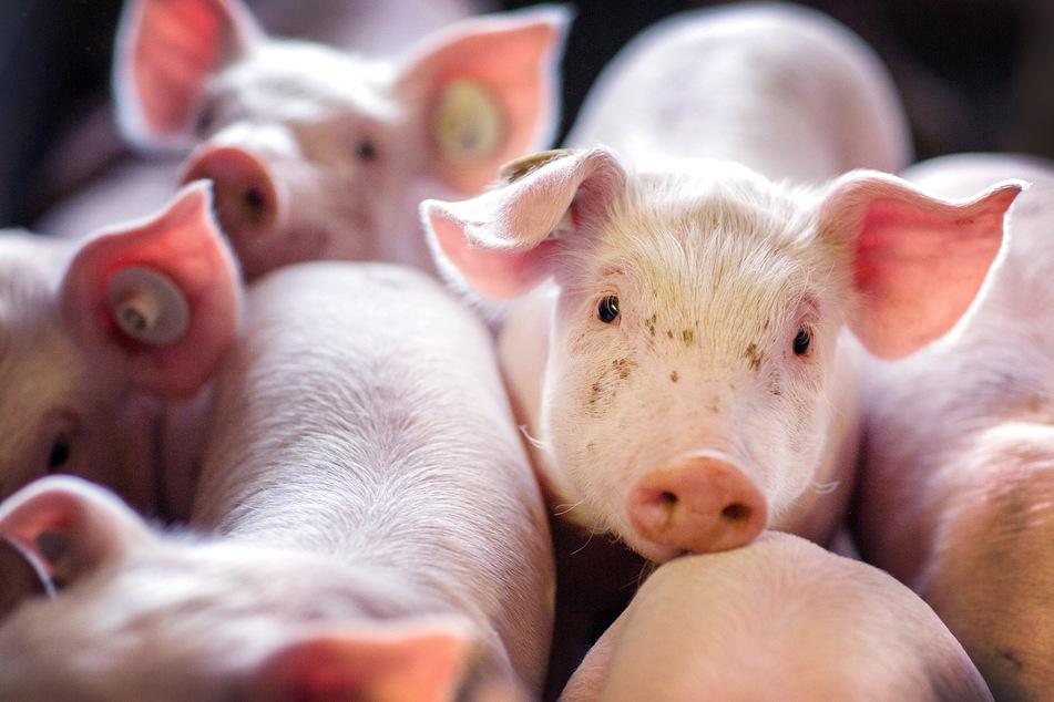 Jetzt auch noch Schweinepest: 24.000 Hausschweine müssen sterben