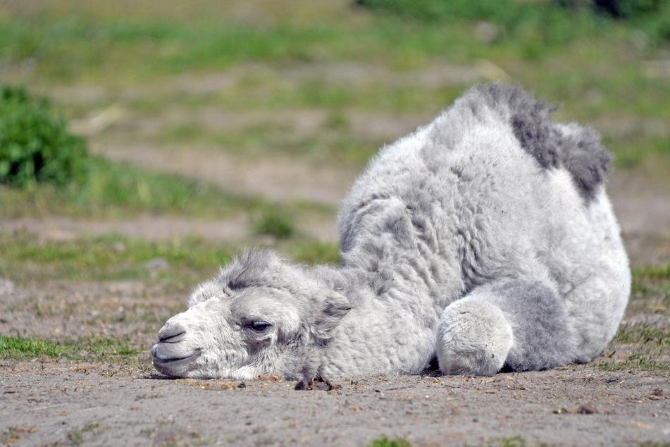 So ein Ausflug macht natürlich müde: Im Tiergarten Delitszch ist ein Trampeltier-Junges zum ersten Mal auf große Entdecker-Tour gegangen.