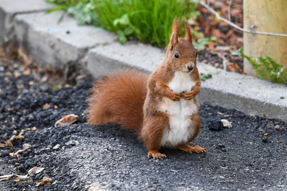 Ein Eichhörnchen sitzt am Rand eines Weges (Symbolfoto).