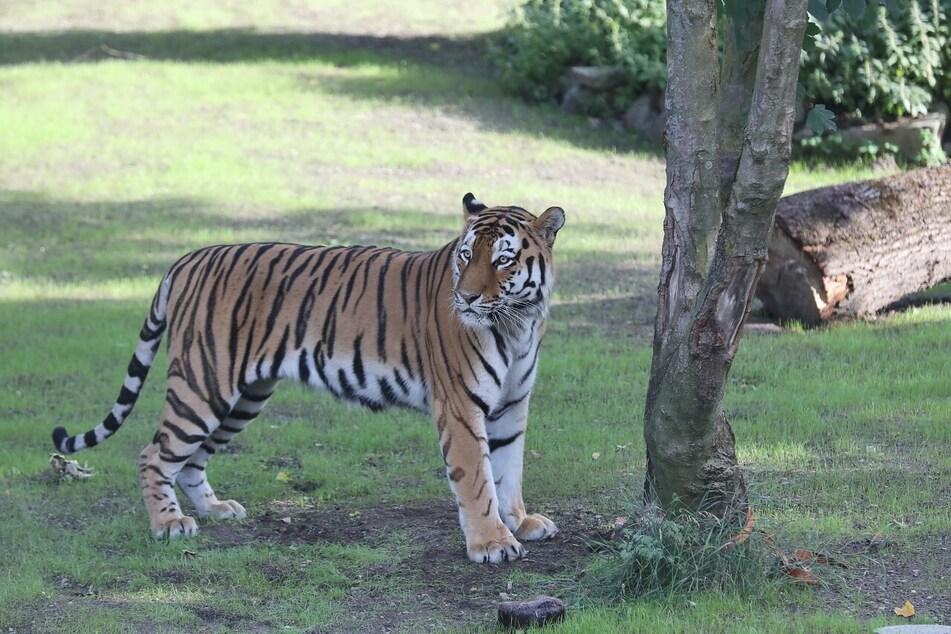 Amur-Tiger Sergan auf Erkundung in seiner neuen Anlage.