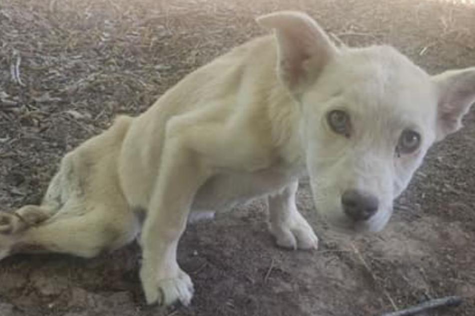Dieser arme Hund schleppt sich schwer verletzt durch den Dreck