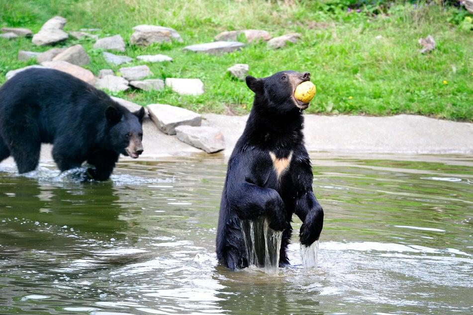 Für die beiden Bären-Brüder sind Honigmelonen eine willkommene Abwechslung.