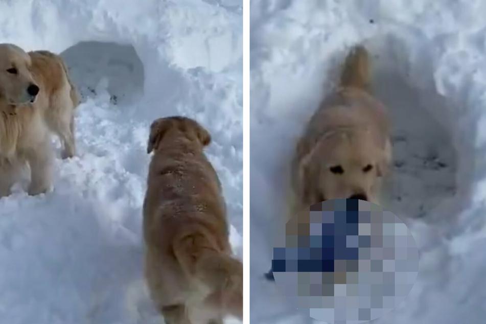 Hund geht in Iglu rein: Seine Besitzer staunen, was er plötzlich rausträgt!