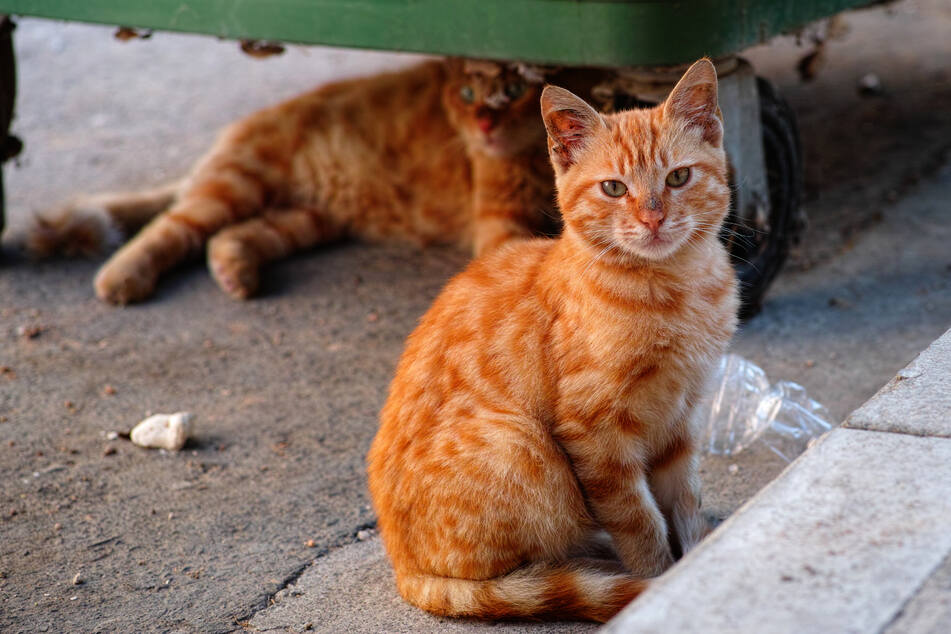 The Cats at Work are cats that have to be relocated but wouldn't feel comfortable in a home environment (stock image).