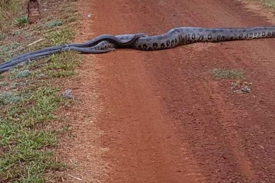 Sechs Meter Riesenschlange im brasilianischen Dschungel entdeckt