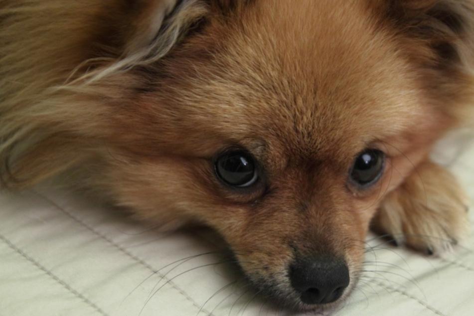 Hundediebe unterwegs? Männer haben es auf Zwergspitz abgesehen und verletzen Frau