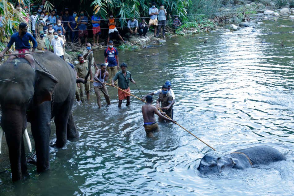 Menschen versuchen, den 15-jährigen wilden Elefanten aus dem Fluss Velliyar zu ziehen. Weitere Elefanten wurden an die Unglücksstelle gebracht, damit das schwangere Tier neues Vertrauen schöpfen kann.