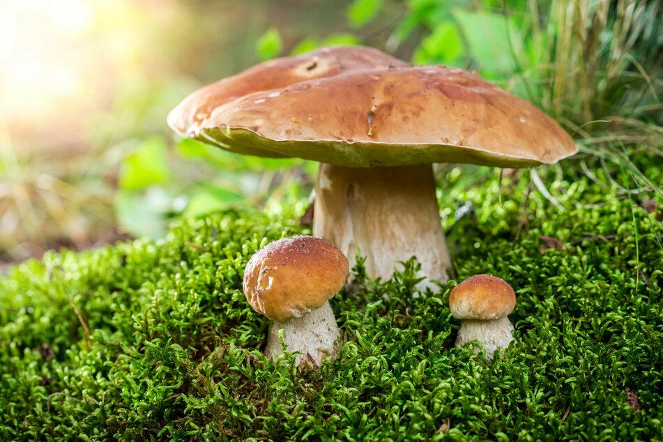 Pilze sammeln für Einsteiger - Das solltest du unbedingt beachten