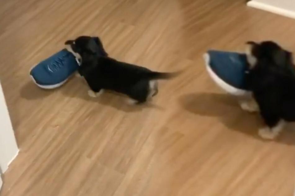 Erwischt! Eine Frau filmt ihren Dackel, wie er heimlich die Schuhe seines Besitzers klaut.