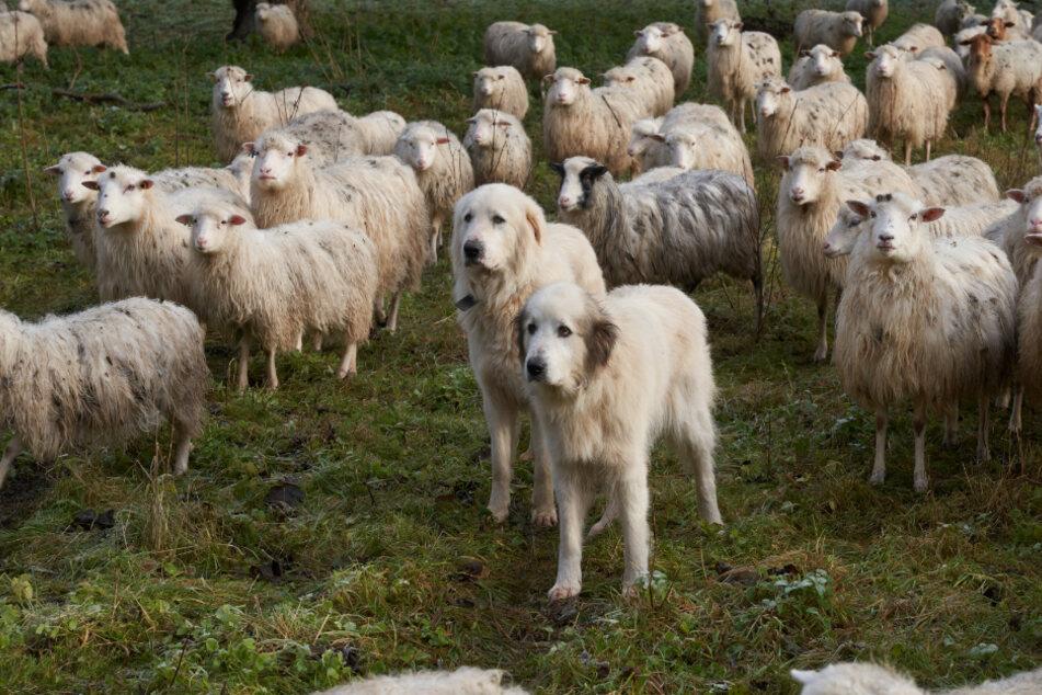 Wölfe wagen sich auch wieder nach Rheinland-Pfalz vor und reißen hier auch Schafe. Besondere Herdenschutzhunde sollen das verhindern.