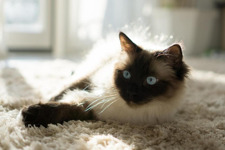 Siamkatzen gehören zu des Deutschen beliebtesten Katzenrassen.