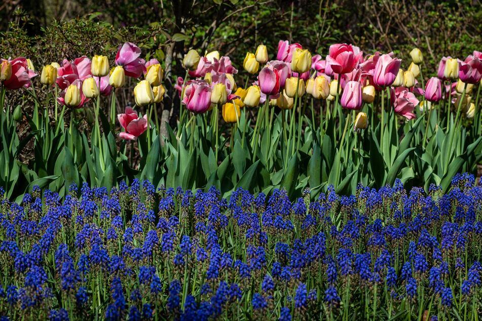 Frühblüher wie Tulpen und Traubenhyazinthen verschönern im Frühling die ansonsten noch sehr kahlen Beete.