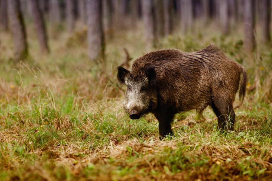 Ein Wildschwein überquerte die Straße und stieß mit einem Autofahrer zusammen (Symbolbild).