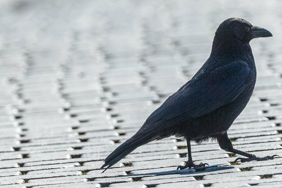 Krähe schubst Igel über die Straße, damit dieser sicher vor den Autos ist