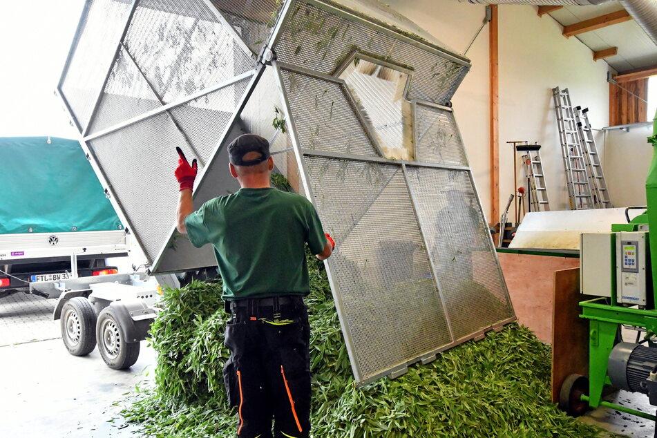 In der Teehalle des Freitaler Unternehmens wird die Ernte zur Weiterverarbeitung abgeladen.