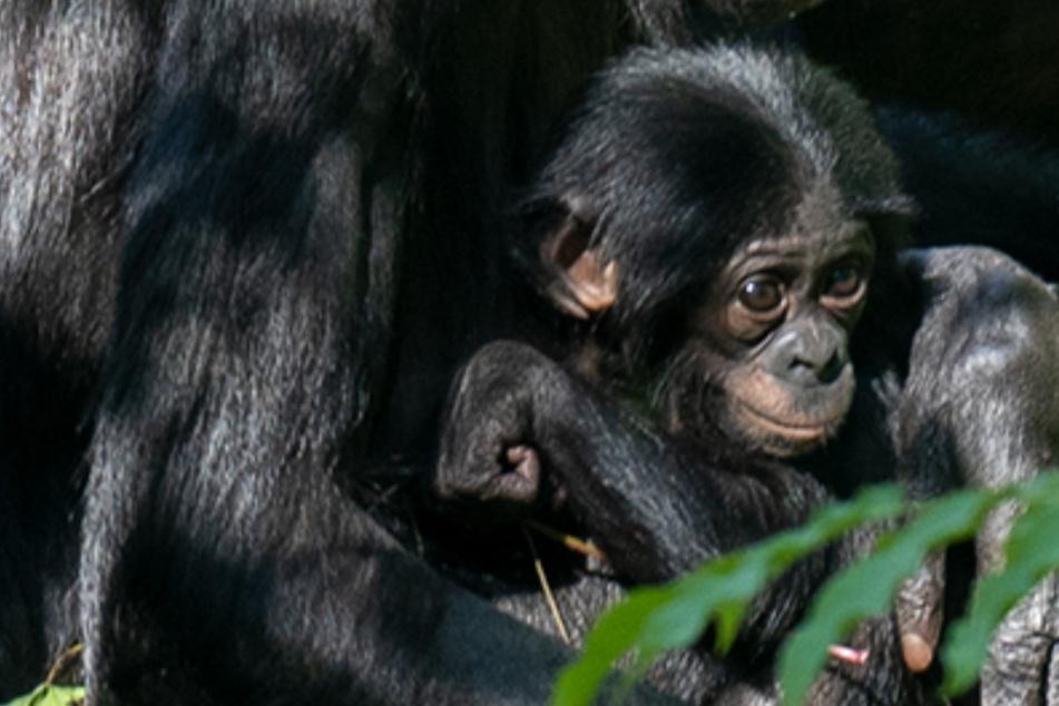 Balina, ein neues Bonobo-Baby, ist im Kölner Zoo geboren worden.