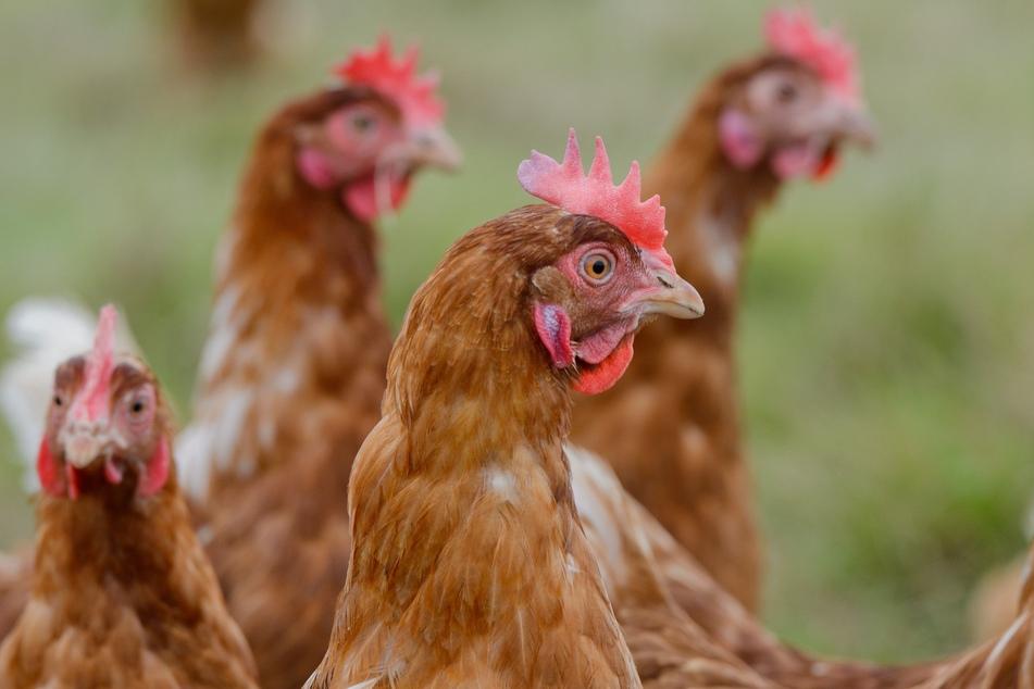 Stallpflicht für Geflügel im Erzgebirgskreis! Droht jetzt auch hier ein Ausbruch der Vogelgrippe?