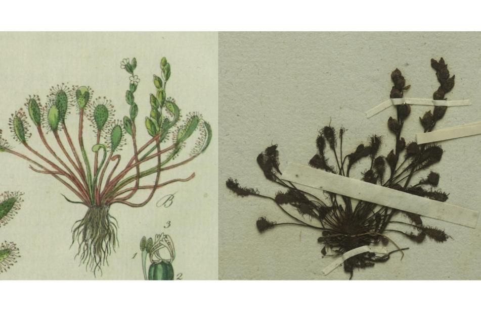 Der Mittlere Sonnentau (Drosera intermedia), links, wie von F.G. Hayne in der Erstbeschreibung von 1798 gezeichnet und von J.S. Capieux graviert, rechts der dazu passende, nun entdeckte Herbarbeleg aus der Botanischen Staatssammlung München.