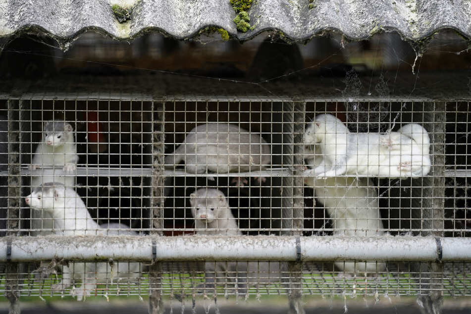 Nerze stehen ihren Käfigen in einem Bauernhof in Gjoel in Nordjütland.