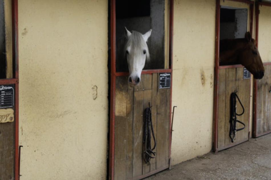 Auf einem Pferdehof in Glimmen (Niederlande) dürfen übergewichtige Reiter nicht mehr aufs Pferd. Schuld sind die Corona-Pfunde. (Symbolbild)