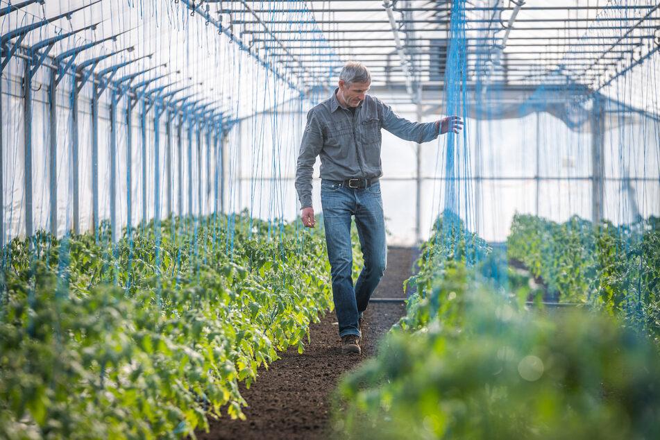 Es grünt so grün in Gärtner Neumanns Gewächshaus. Doch wer soll Kohlrabi, Spinat, Salat und Co. einmal essen?