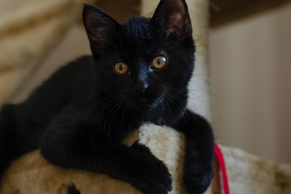 Man kann sich kaum vorstellen, dass diese süße schwarze Katze im Gegensatz zu den Glückskatzen Pech bringen soll.