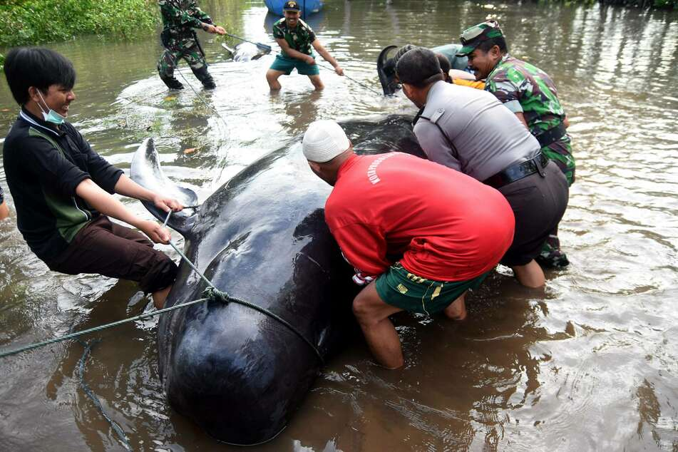 Volunteers tried to help a short-finned pilot whale that was beached during the last mass stranding in Java in 2016.