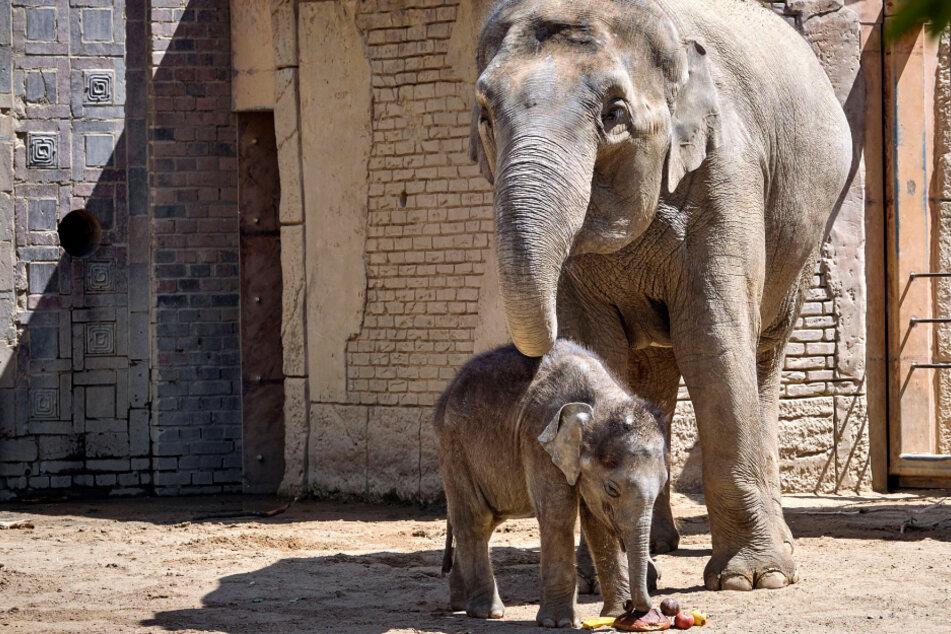 """Leipziger Zoo schiebt """"Rüssel-Zicken"""" ab und setzt auf Berliner Elefanten"""