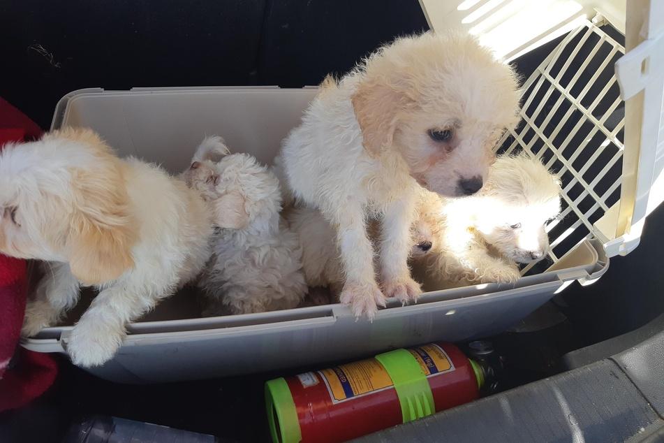 Die Bundespolizei fand in einem Opel eine Hundetransportbox mit fünf Hundewelpen (Malteser).