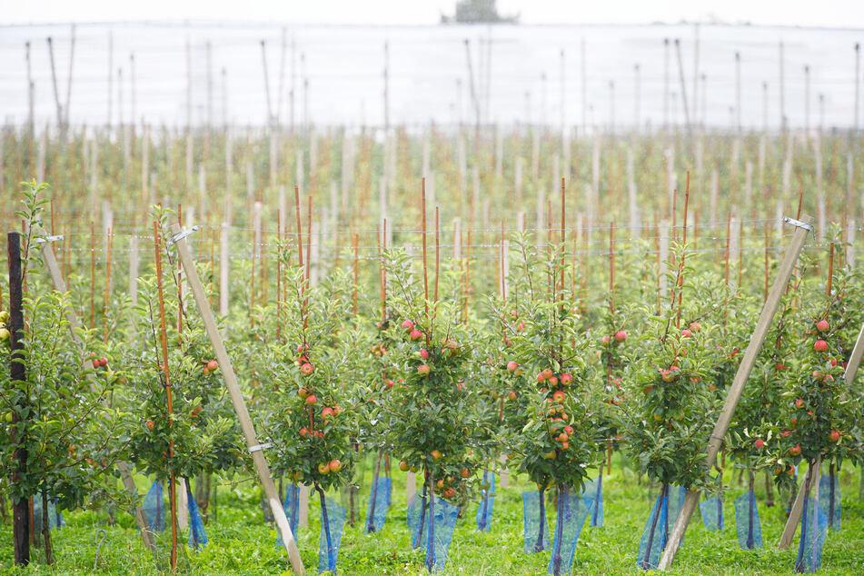 Mit 64.000 Tonnen erwarten die sächsischen Obstbauern ein gutes Erntejahr.