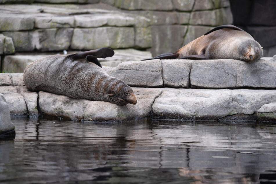 Seebären liegen im Außenbereich ihres Geheges im Tierpark Hagenbeck. (Archivbild)