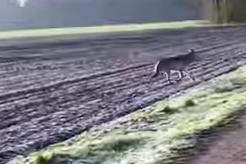 Wölfe: Unheimliche Begegnung auf Feldweg: Wolf verfolgt Joggerin