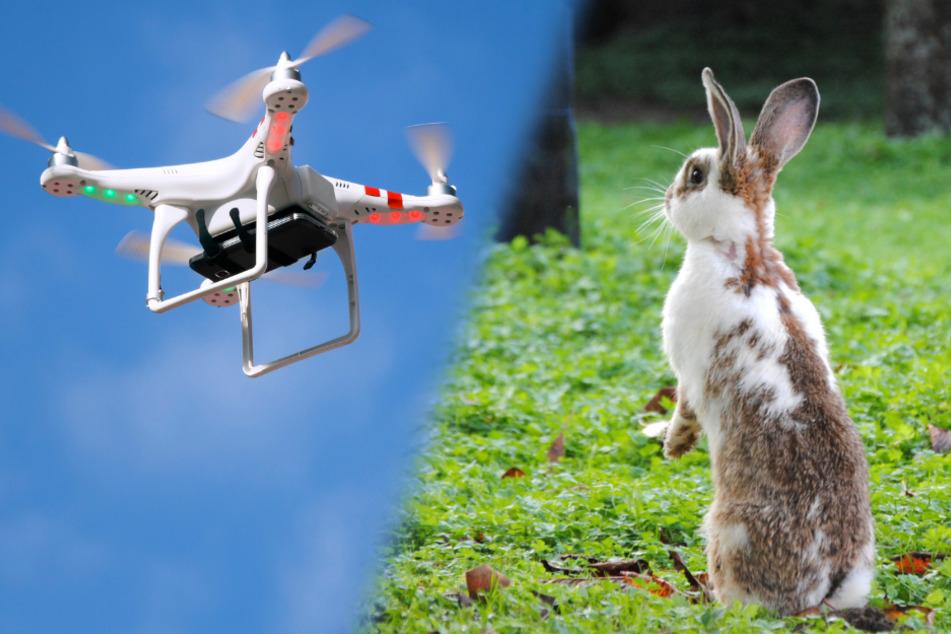 Nach den entflohenen Kaninchen wurden mit einer Drohne gesucht. (Fotomontage)