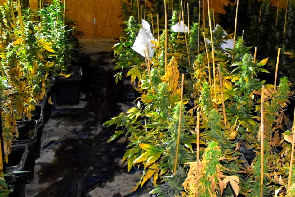 Hunderte Cannabis-Pflanzen entdeckt: Zwei 75-Jährige festgenommen!