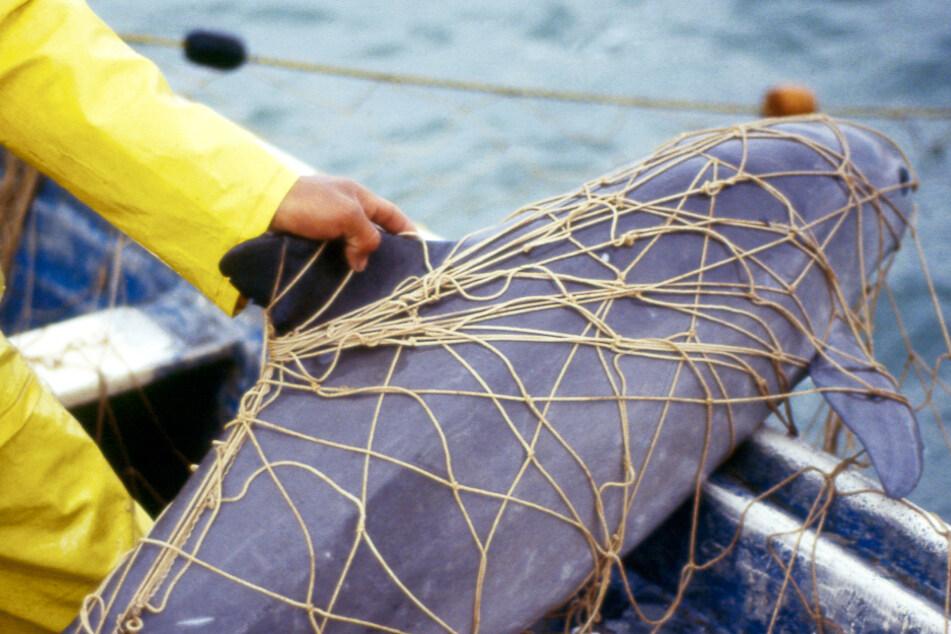 Ein viel zu häufiges Bild: Ein Vaquita hängt in einem Fischernetz fest.