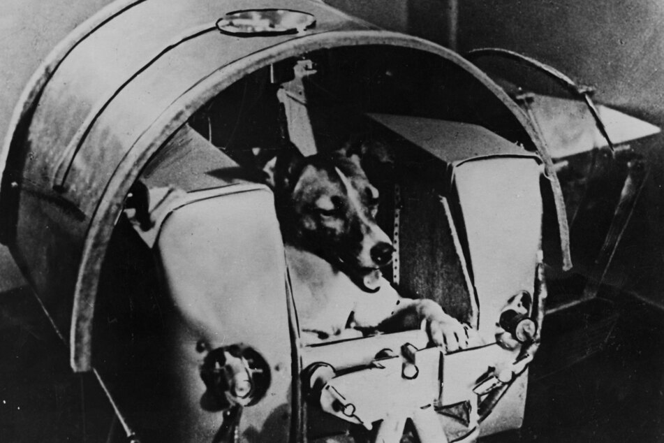 The then two-year-old Laika posed during tests in a pressurized cabin (archive image).