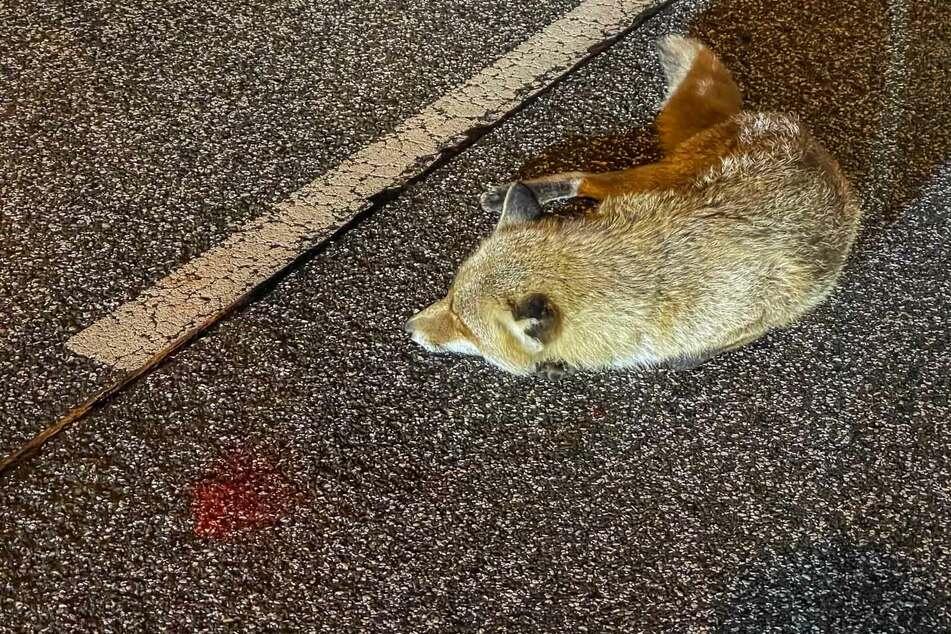 """Der verletzte Fuchs wurde von einem Autofahrer gerettet, wenig später jedoch von der Polizei """"erlöst""""."""
