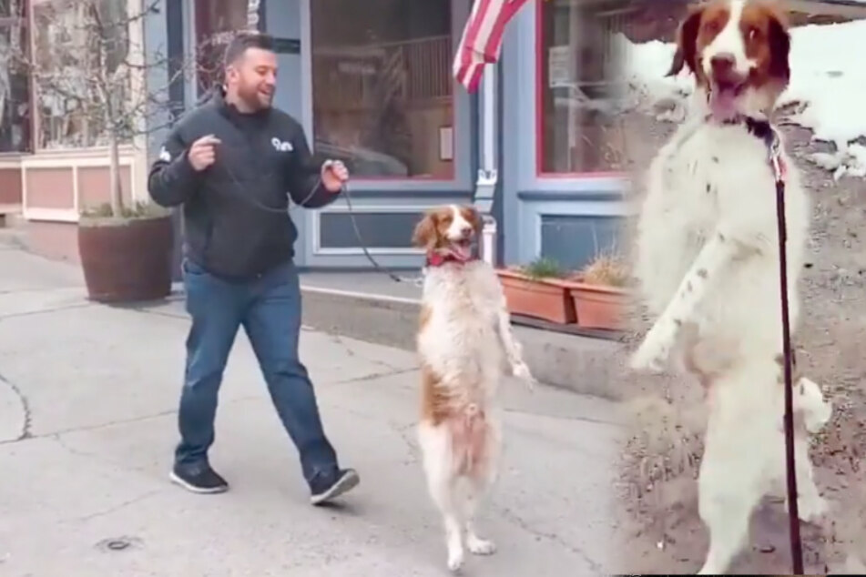Hund dreht den Swag auf: Fellnase stolziert auf zwei Beinen durch die Stadt, der Grund ist tragisch