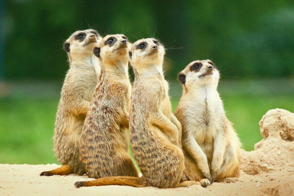 Die Erdmännchen-Gruppe des Tierparks Hellabrunn wurde nachts in ihrem Bau verschüttet.
