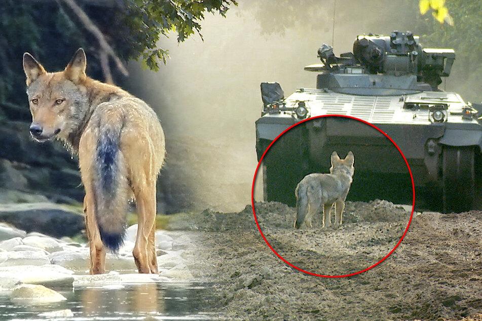 MDR nimmt Sachsens Wölfe unter die Lupe