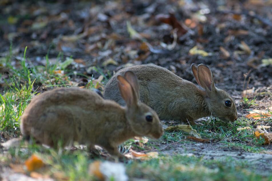 Stadt plant Kaninchenjagd in Park: Bürger und Tierschützer gehen auf die Barrikaden
