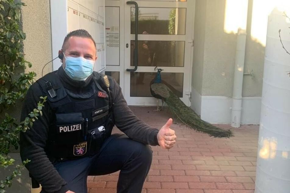 Während der Pfau im Hintergrund seelenruhig vor einer Haustür im hessischen Kriftel verharrt, fanden die Beamten der Polizei noch Zeit für ein Foto.