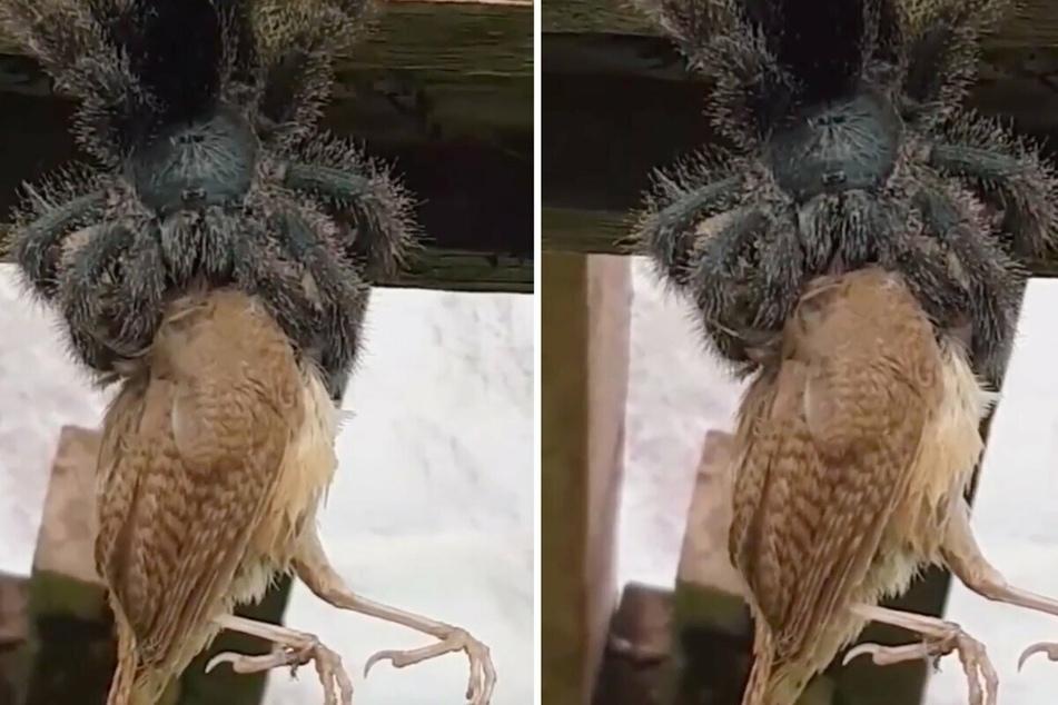 Dinner time: Scary tarantula video shocks Reddit users