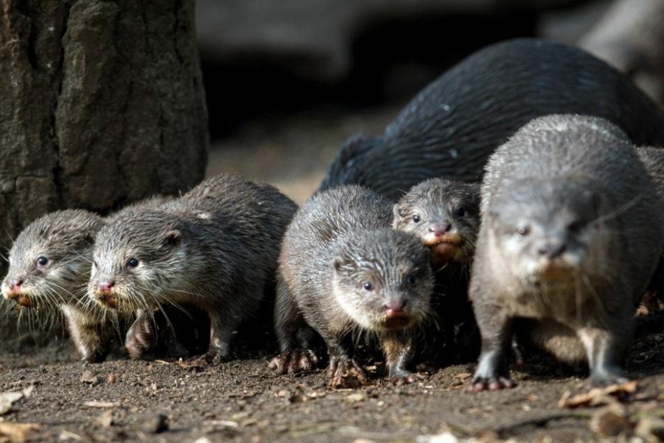 Besucher können ab Montag wieder Otter und andere Tiere im Tierpark Neumünster sehen. (Archivbild)