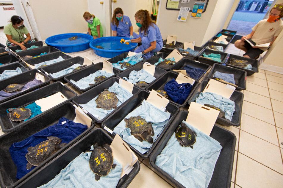 Mitarbeiter des ansässigen Schildkrötenkrankenhauses kümmern sich um die unterkühlten Atlantik-Bastardschildkröten.
